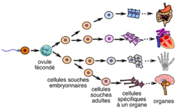 Les cellules souches adultes de moelle osseuse peuvent créer tout type d'organe ou de tissu, elles peuvent tout réparer !